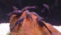 Nettoyeur pleco noir selon l 39 aquarium anzin for Nettoyeur aquarium poisson