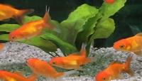 D couvrez notre gamme de poissons d 39 eau froide et de for Prix poisson rouge tete de lion